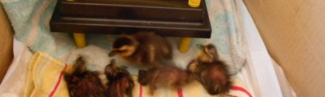 newly hatched mallard ducklings